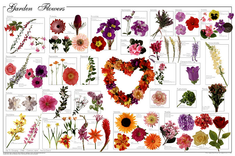 A602 Garden Flowers Shows Many Of The Most Popular Specimens. All Are  Arranged By Botanical Order, Then By Family. As Almost All Popular Flowers  Are Hybrids ...